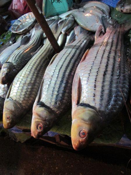 Living Treasure Jullien S Golden Carp Living Treasures Fish Fish For Sale