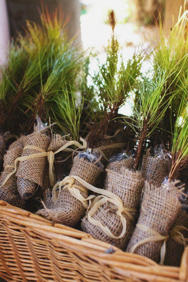 Diy Pine Sapling Wedding Favors January Wedding Pinterest