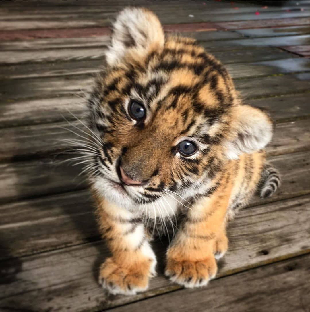 "Photo of Animal on 🌍 on Instagram: ""Baby tiger!!😍😄 By 📷 Unknown DM #Animalonplanet"""