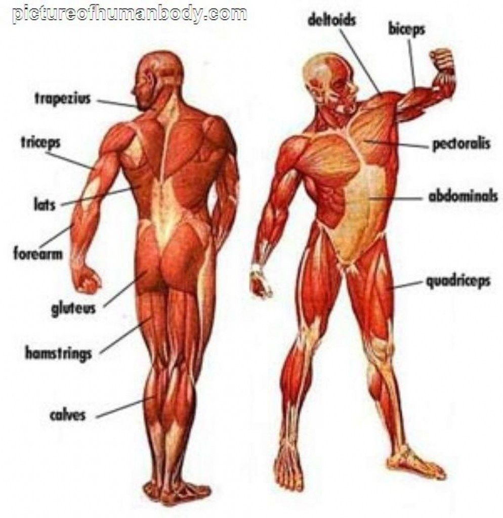 Unlabeled Muscular System Diagram Human Anatomy Drawing