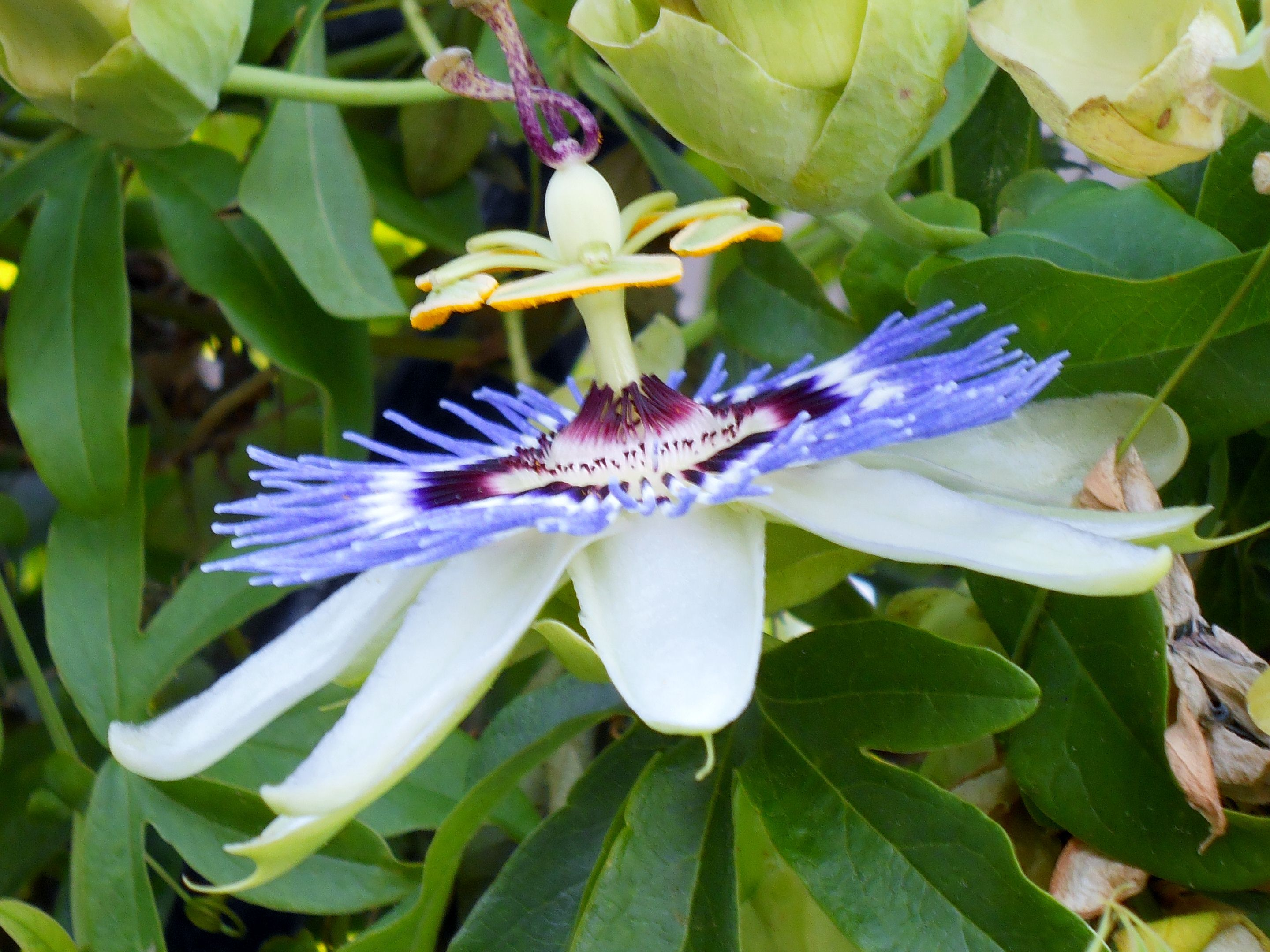 Passionflower Real Life Dr Suess With Images Amazing Gardens Passion Flower Orchids