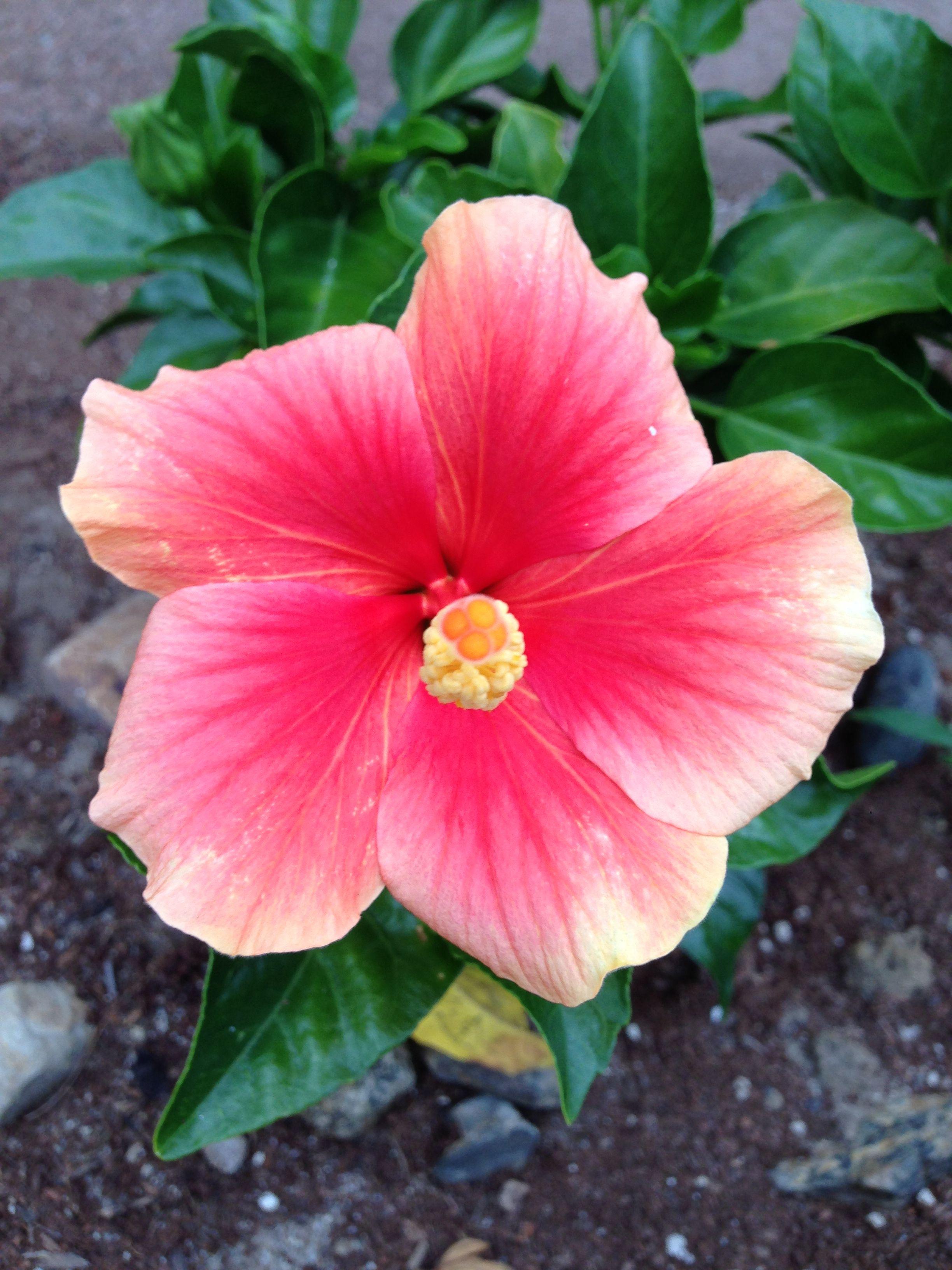 Sweet Strawberry Hibiscus Hibiscus Tropical Paradise Hibiscus