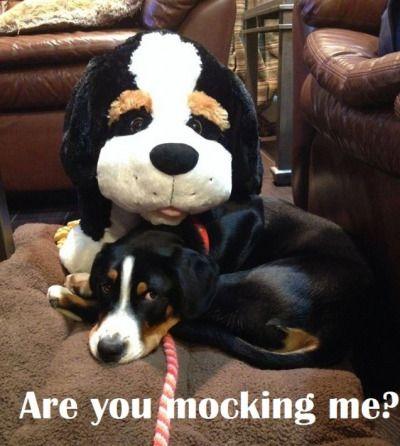 Greater Swiss Mountain Dog Tumblr Memes Pinterest Swiss
