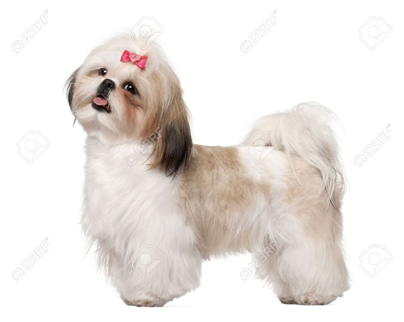 Long Teddy Bear With Ponytail With Images Shih Tzu Shih Tzus