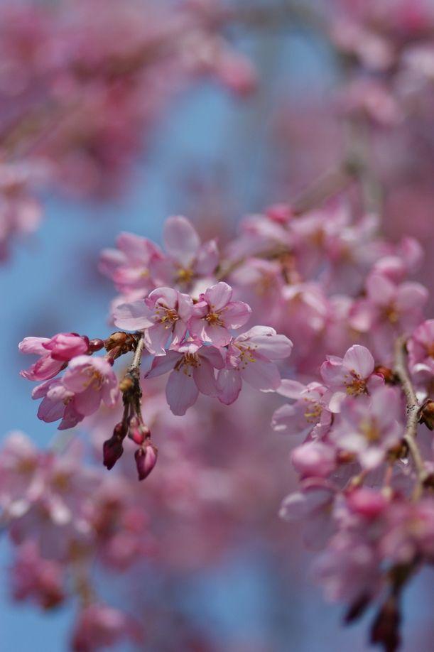Pin By Belinda Mullins On Sakura Japan Cherry Blossom Japan Sakura Cherry Blossom The Colour Of Spring