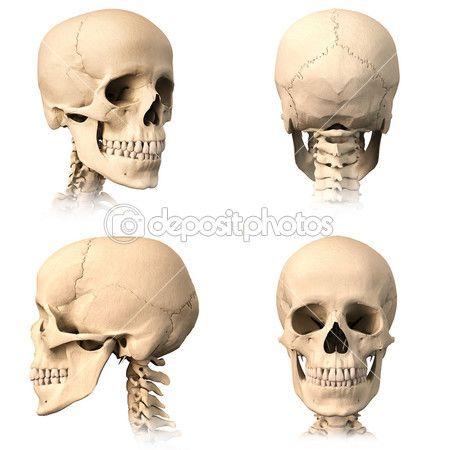 Ludzkie czaszki, cztery widoki — Obraz stockowy #25636781 | Drawing ...