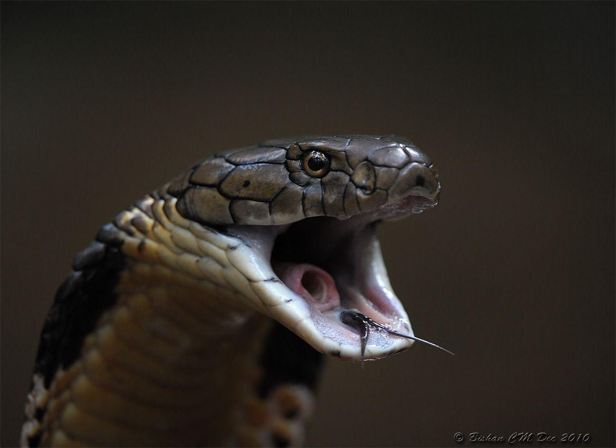 king cobra open mouth - Buscar con Google | Sword ...