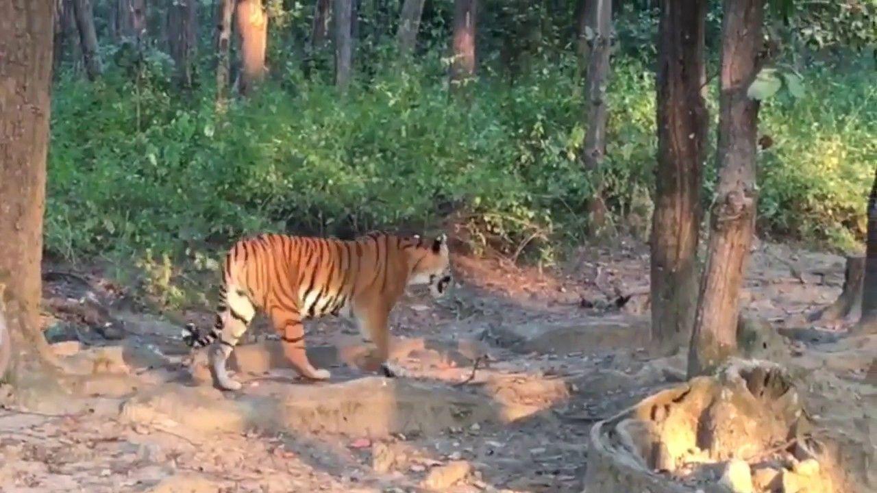 Tiger sightings in Kanha (November 2018) Safari tour