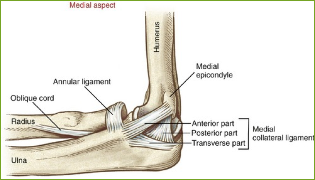 ligaments of the elbow - Google Search (With images ...