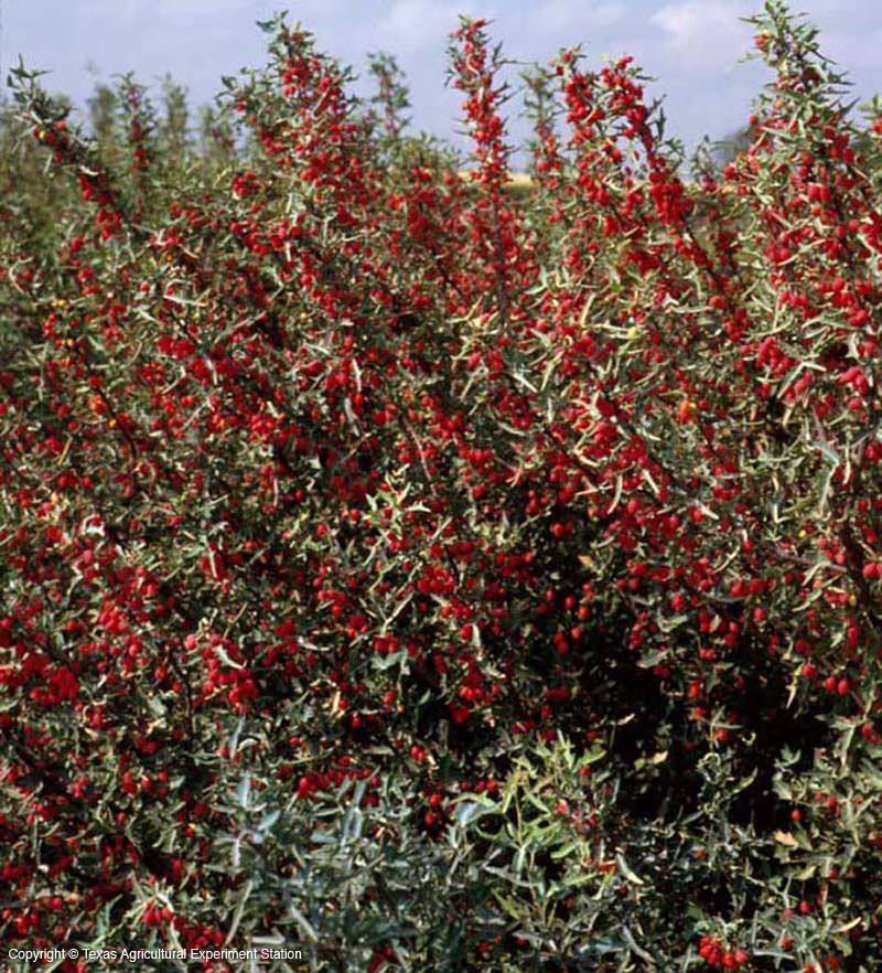 Red Barberry Algerita Sonoran Desert Plants Native