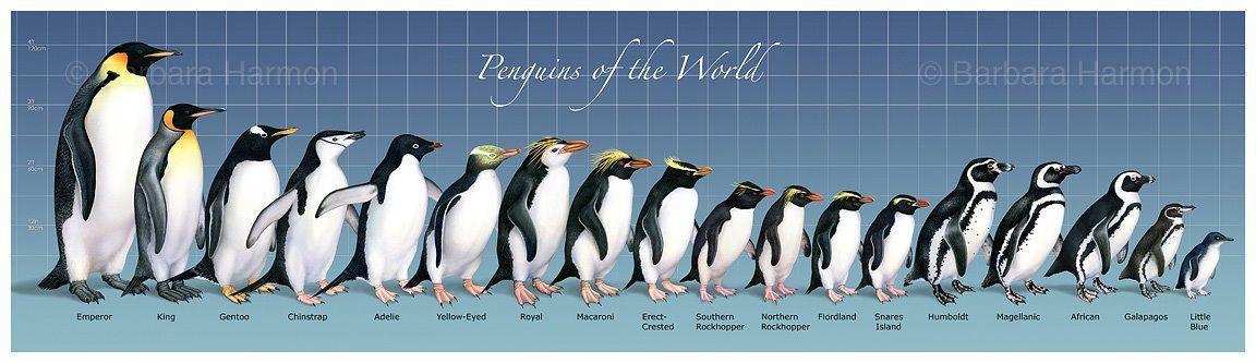 Penguin size comparison also science pinterest penguins arctic rh