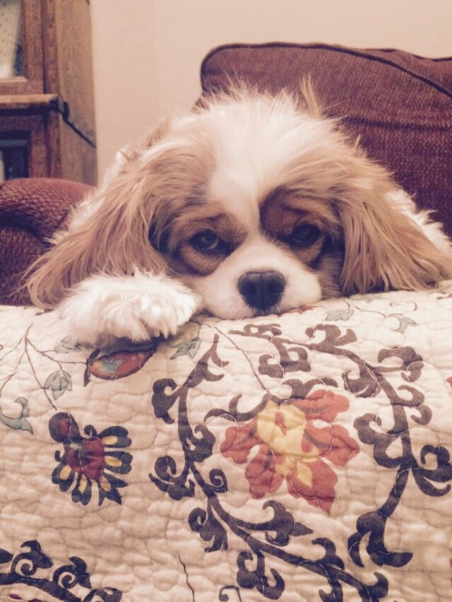 Sweet baby Penny the Cavalier King Charles Spaniel