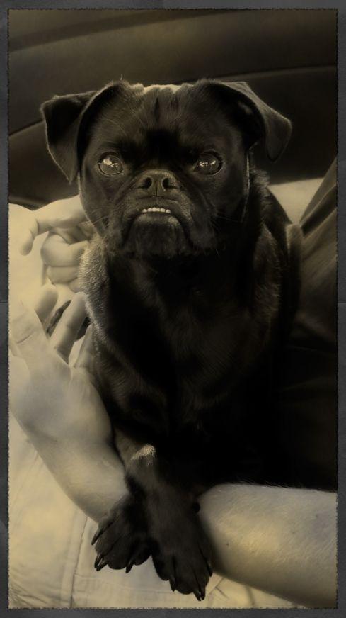 Jack Russell Pug Jack Russell Pugs Pretty Animals