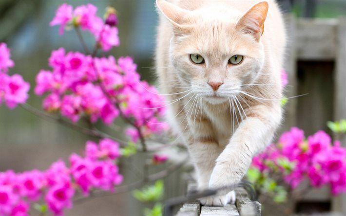 Telecharger Fonds D Ecran Chat Printemps Cloture Animaux Familiers Beige Chat Fleurs Roses Besthqwallpapers Com Animaux Familiers Animaux Cute Kittens