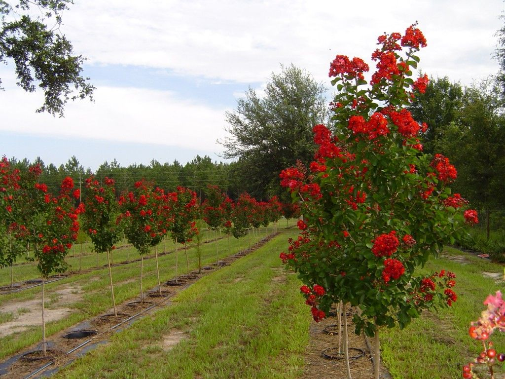 Sample Dynamite Trees 171 The Sato Veillon Family