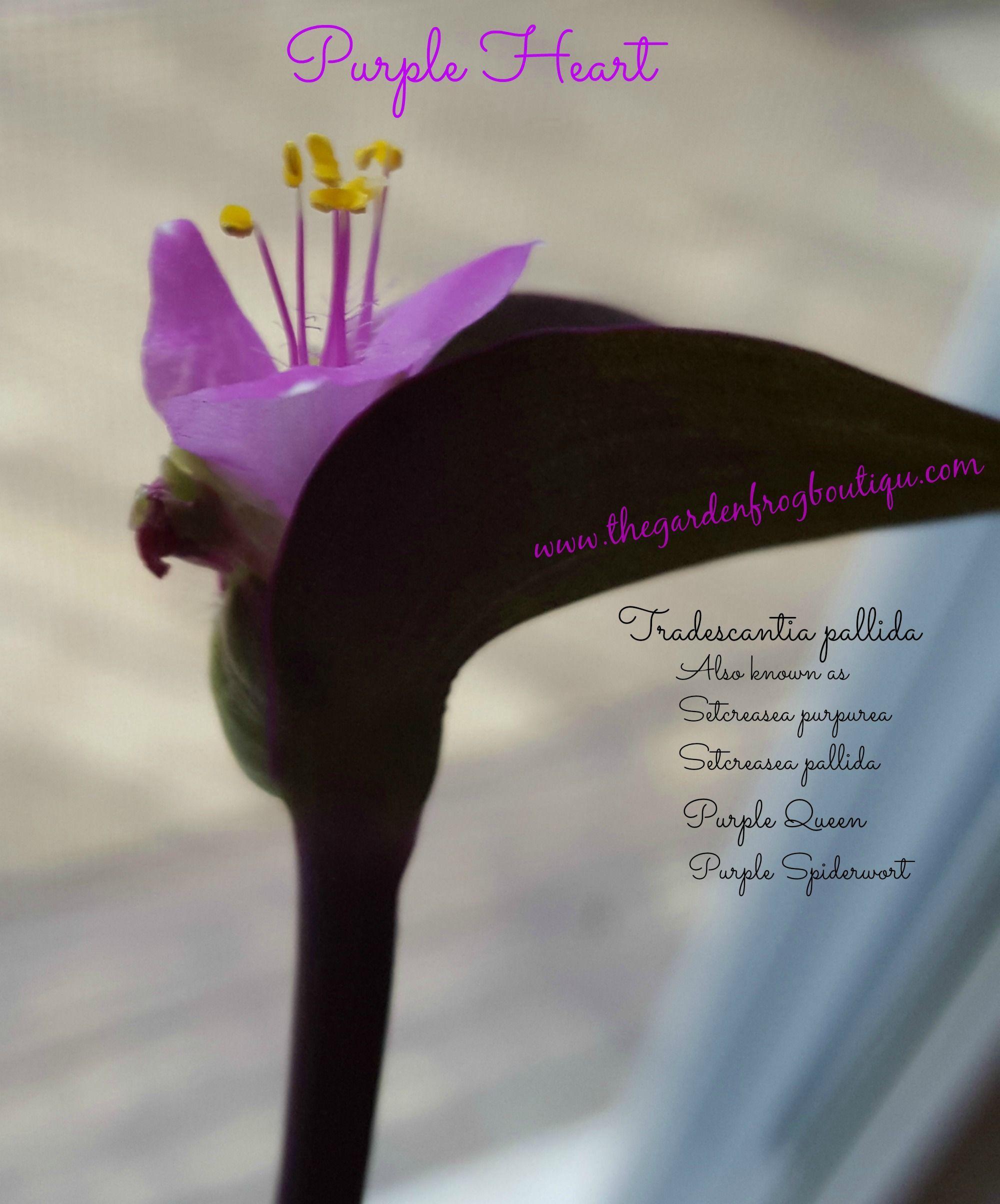 Purple Heart Tradescantia Pallida Plant The Garden Frog Boutique Purple Heart Garden Frogs Purple Heart Plant