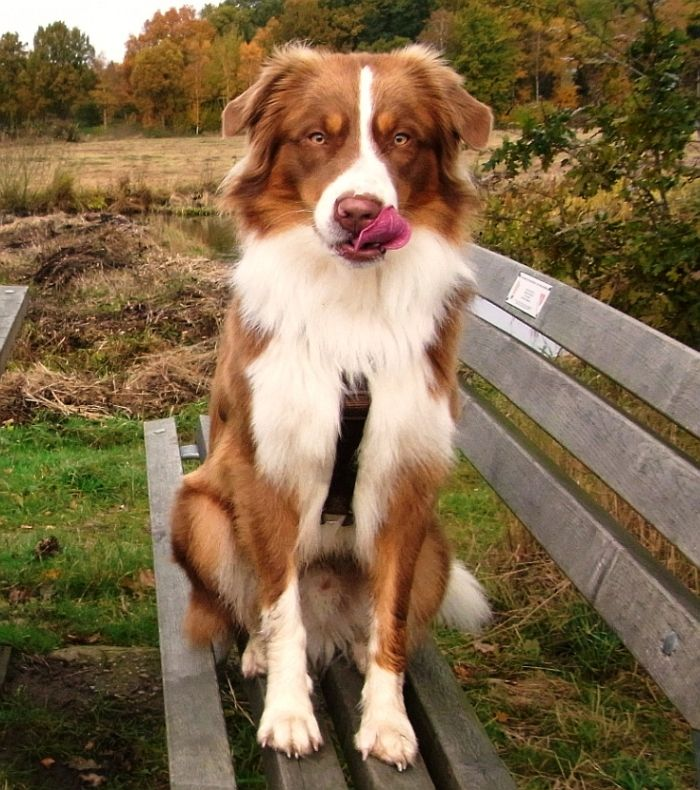 Red Tri Australian Shepherd Such A Lovely Coloring Australian