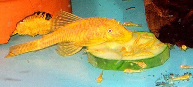 Albino Bristlenose Pleco Baby Google Search Albino Fish Pet Pets