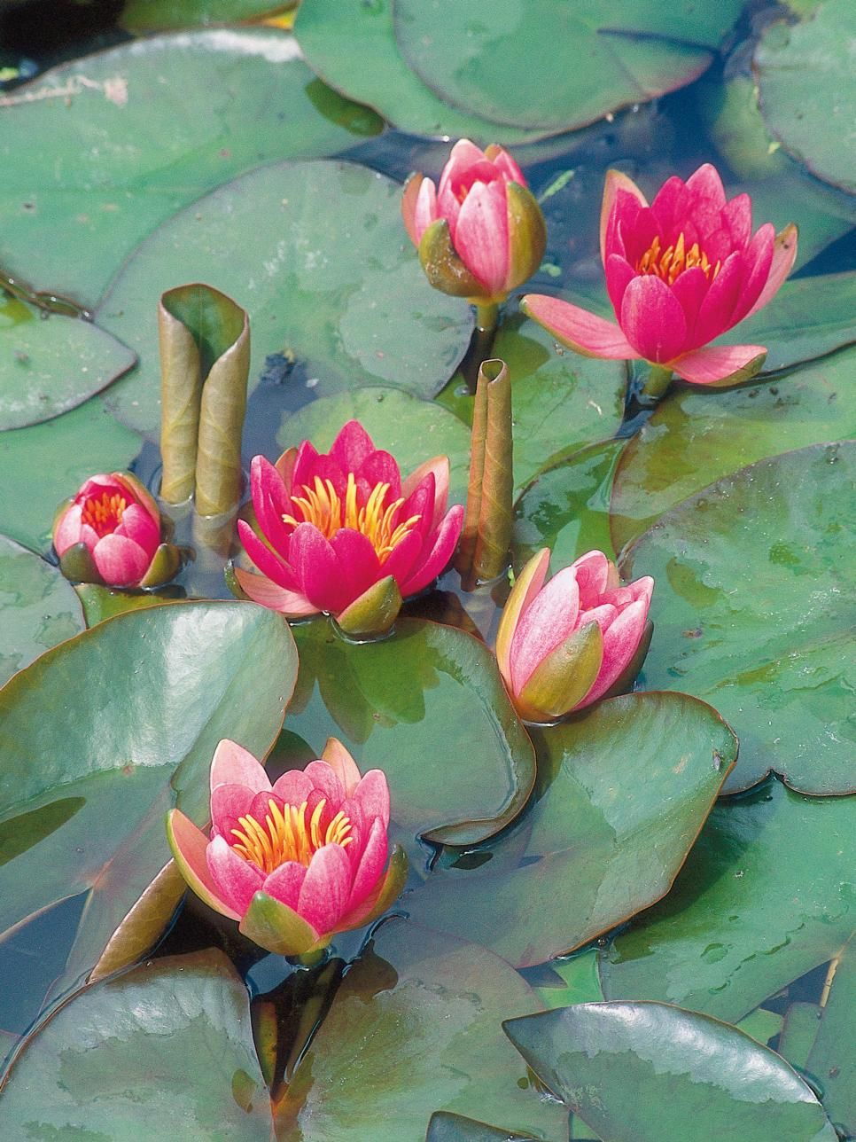 Landscaping 101 Different Types of Plants Water lilies
