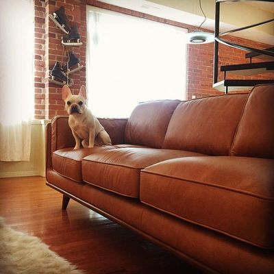 I Think Francis Approves Of The New Couch Kylesdoggydaycare