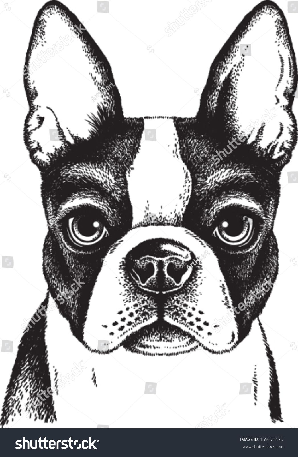 Black And White Vector Sketch Of A Fawn Boston Terrier S Face Boston Terrier Art Boston Terrier Illustration Dog Drawing