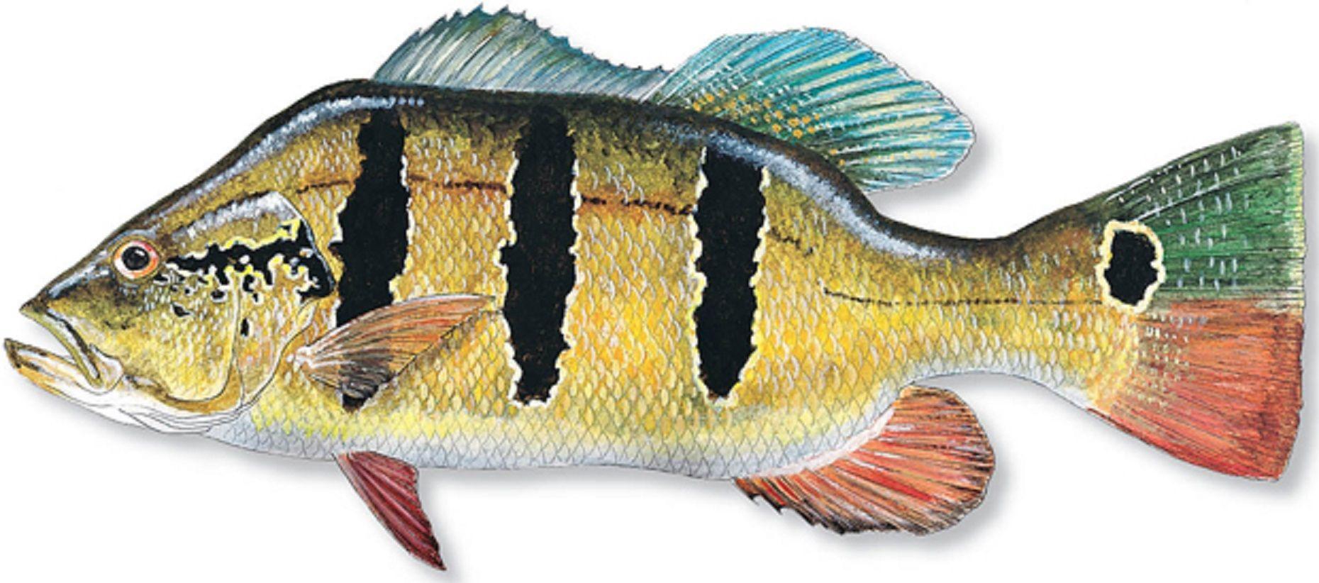 Art Illustration Lakes Freshwater Fish Peacock Bass