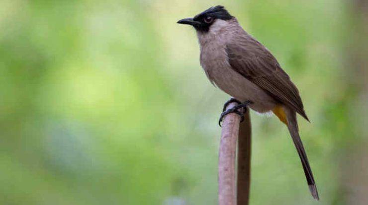 Download Suara Burung Kutilang Mp3 Full Isian Untuk Masteran Burung