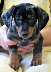 Elvis Is An Adoptable Dachshund Dog In Amery Wi Elvis Is A 10