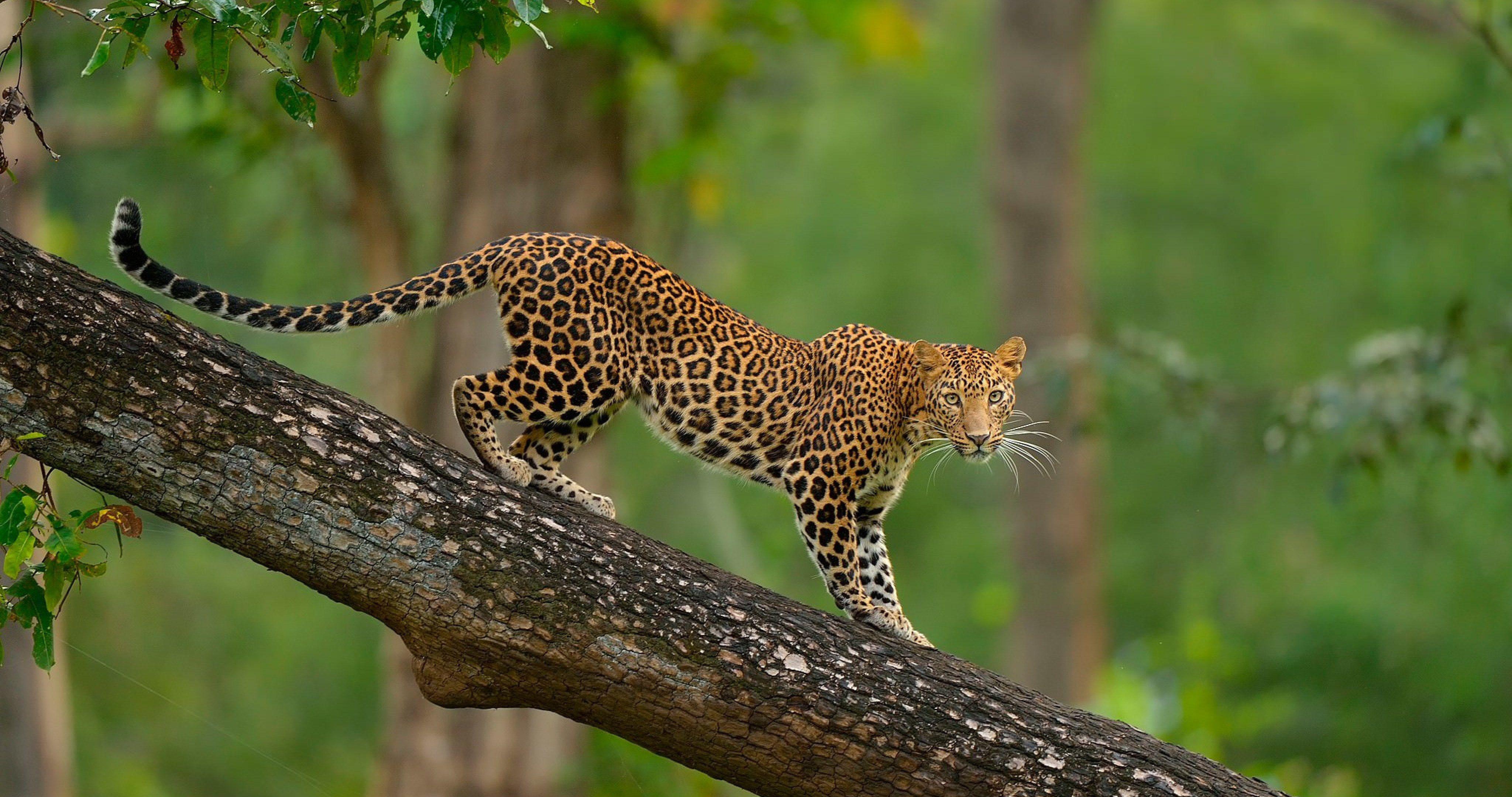Colorful leopard on tree 4k ultra hd wallpaper - Ultra hd animal wallpapers ...