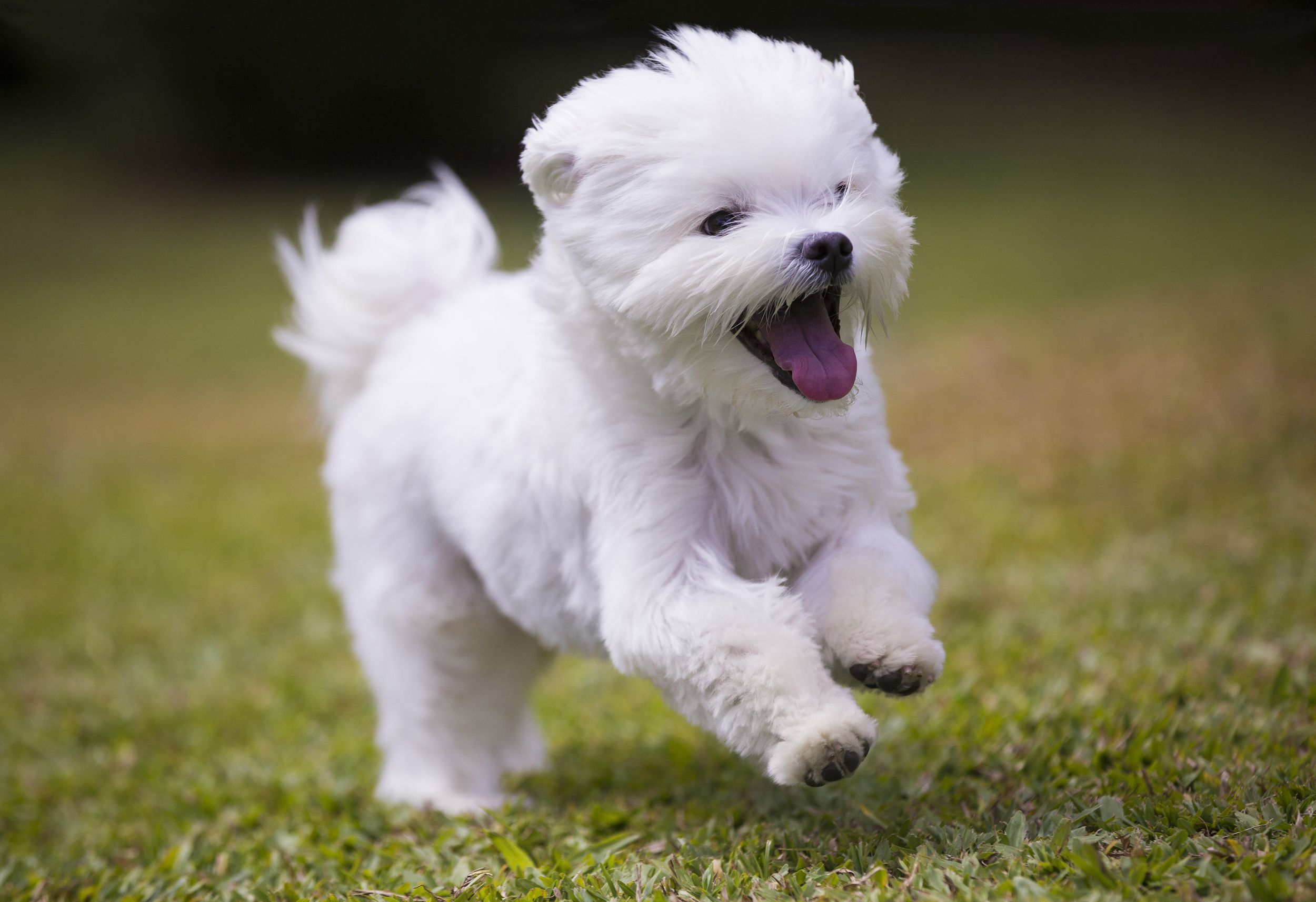 Pin By Robert On God S Greatest Creations Maltese Dogs Dog Breeds