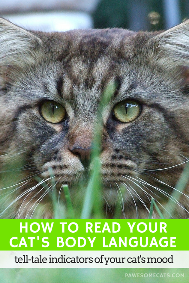 How To Read Your Cat's Body Language (With images
