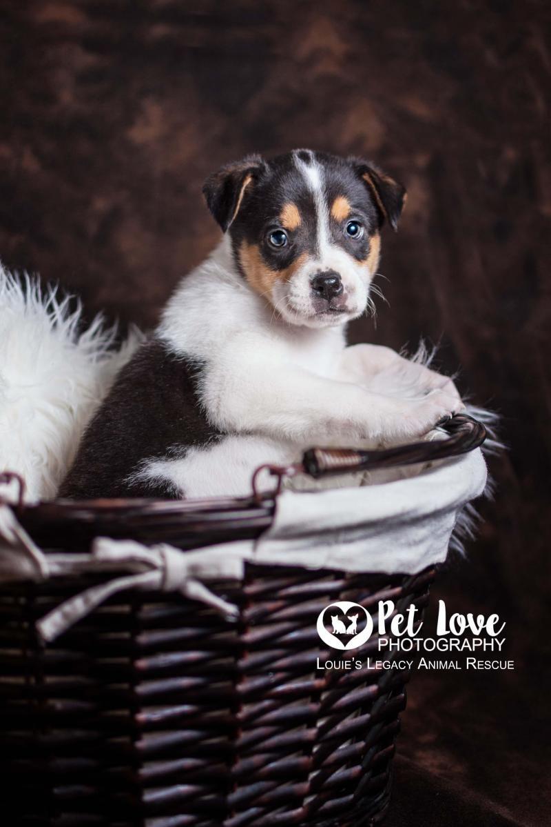 Adopt Poe on Australian shepherd, Adoption