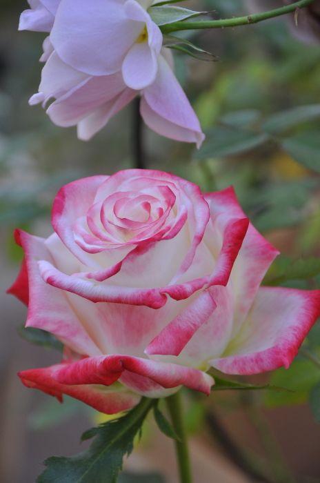 Imperatrice Farah, Hybrid Tea rose. France G Delbard 1992