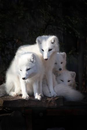 Arctic foxes by inez