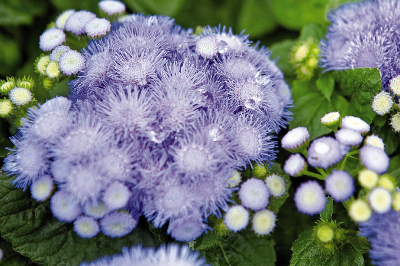 Floss Flower Ageratum Houtonianum Hawaii Blue Dwarf Deadhead Flowers To Stimulate Blooms Zone 12 Mosquito Repelling Plants Plants Colorful Plants