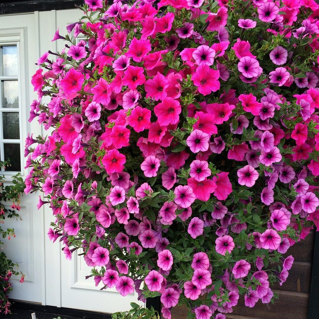 Hanging Basket With Pink And Purple Petunias With Images