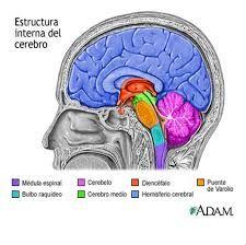 Resultado De Imagen Para Diencefalo Estructura Del Cerebro