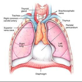 thymus gland functions