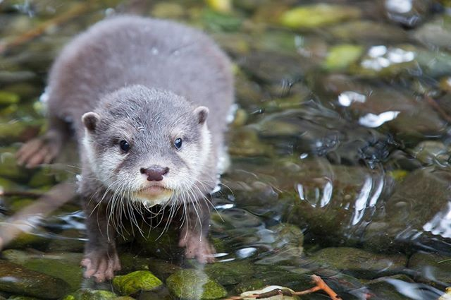You are never too old to set an otter goal or dream a new stream. - the otter C.S. Lewis  #OtterADay #ottersofinstagram #otter #otterpuns #otterpup #babyanimals #wisdom #cslewisquotes #otterstagram #animallovers #animalphotography