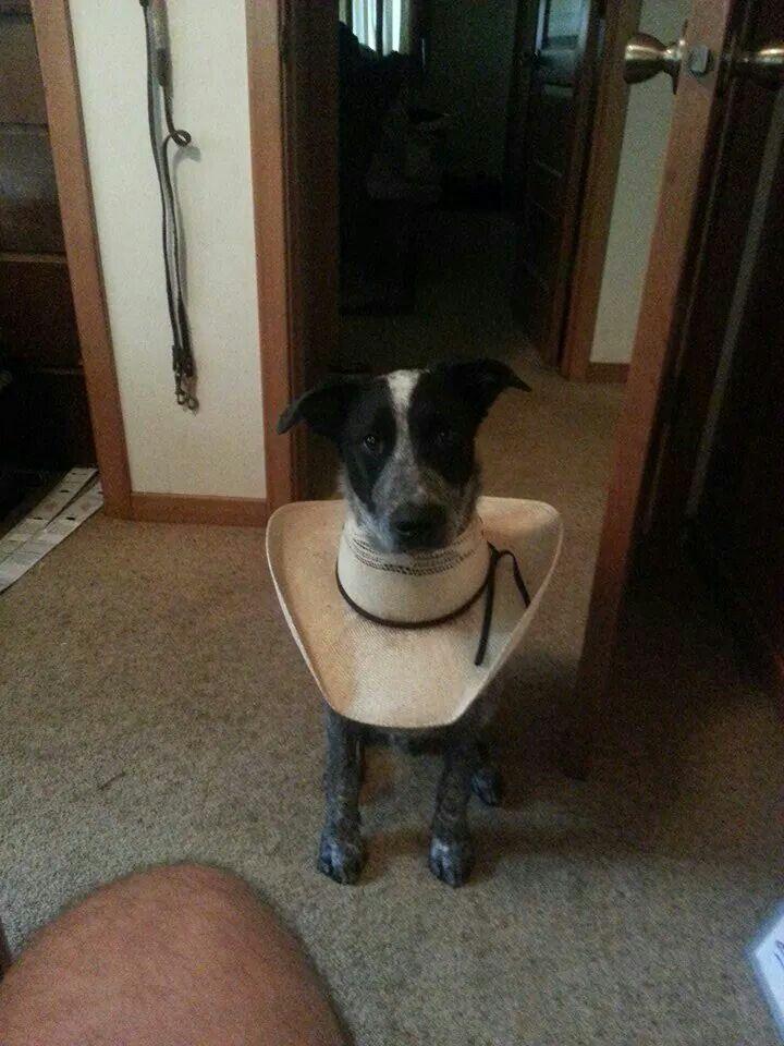 Cowboy Cone Itch No More Dog Cone Dog Quotes Funny Cute Animals