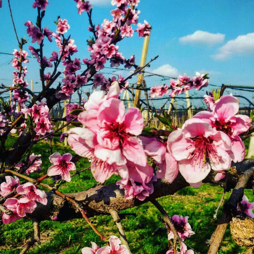 #fasoligino #bio #vineyards #flowerspower #spring #nature