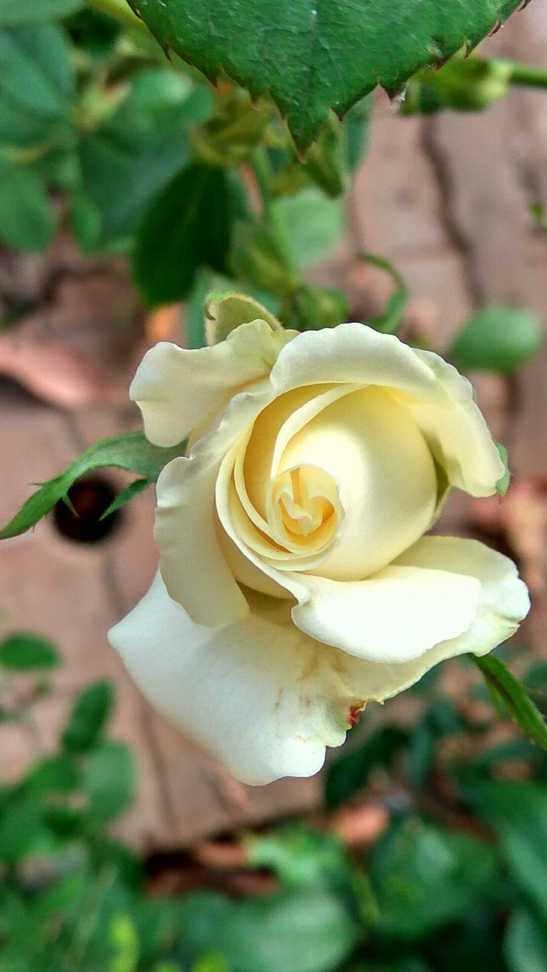 The White Rose Is Looking So Beautiful And Excellent The Meaning Of