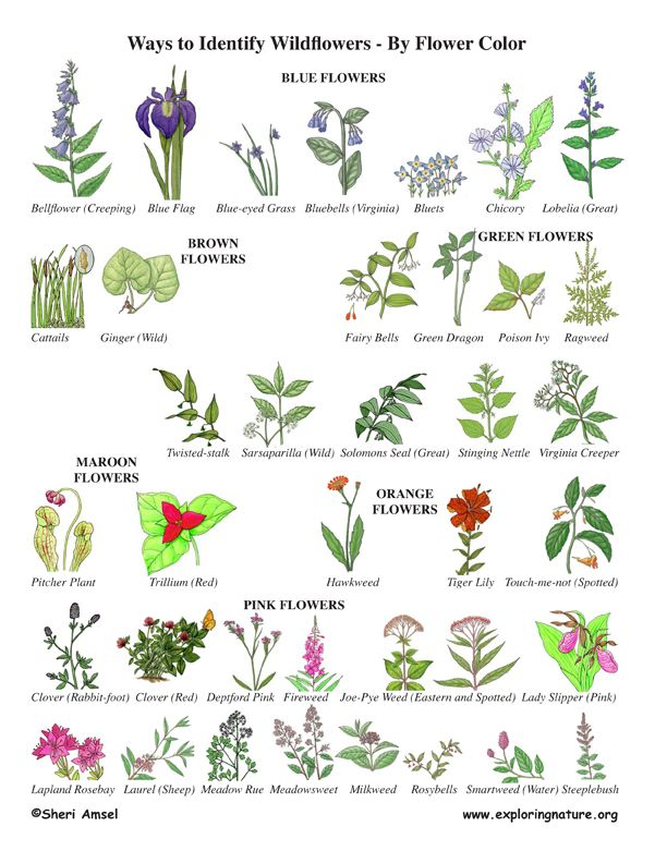 Wildflower Identification By Color Wildflower Id Book For Kids