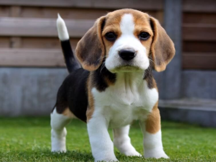 21 Awesome Diy Dog Houses With Free Step By Step Plans Beagle