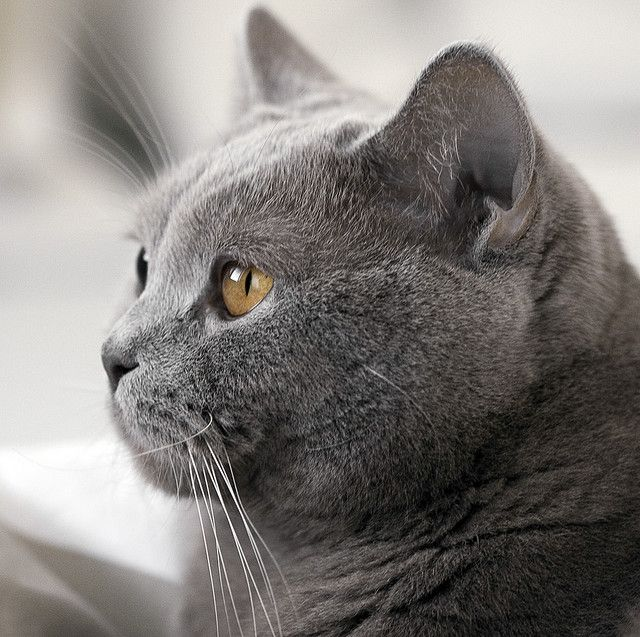 British Shorthair Boris British Shorthair Cats British Blue