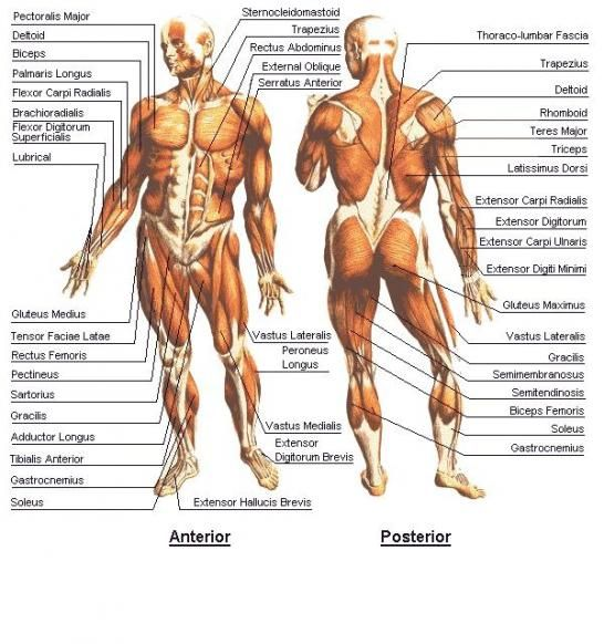 Human Muscular System Diagram Labeled Cosmetology School