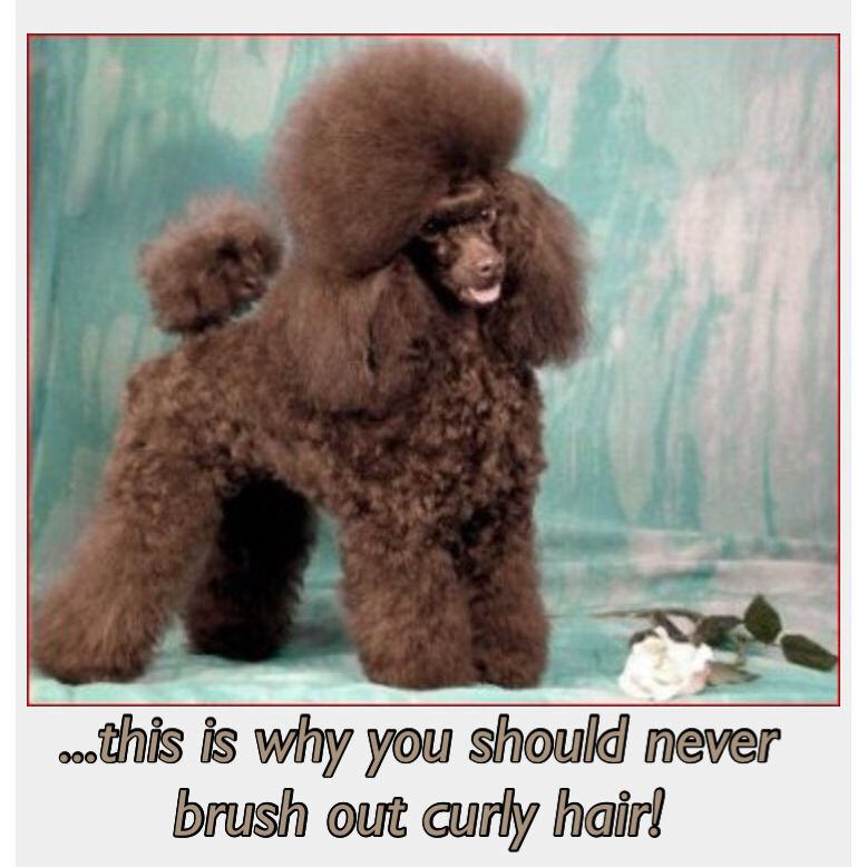 Pin By Harika Hulukan On Curls Toy Poodle Brown Toy Poodle Poodle
