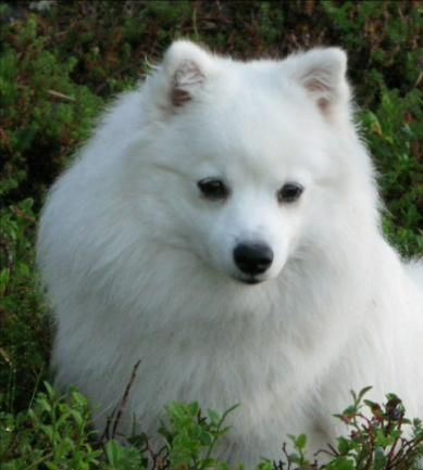 Japanese Spitz Dog in Finland