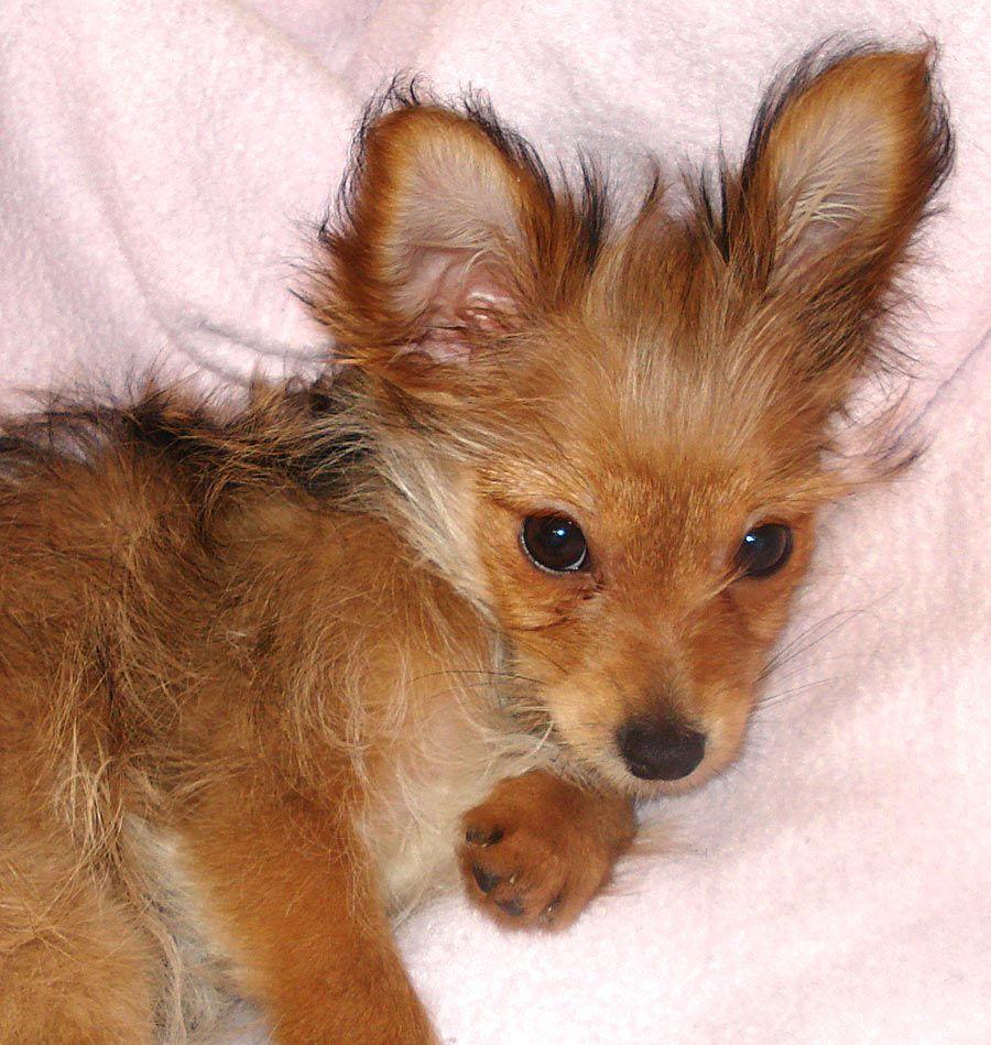 Yorkie+Chihuahua+Mix Lulu the Yorkie/Chihuahua Mix