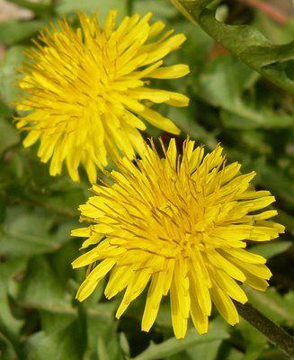 pitypang  (Taraxacum officinale Vályogos talajt jelez